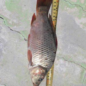 ماهی ارگانیک
