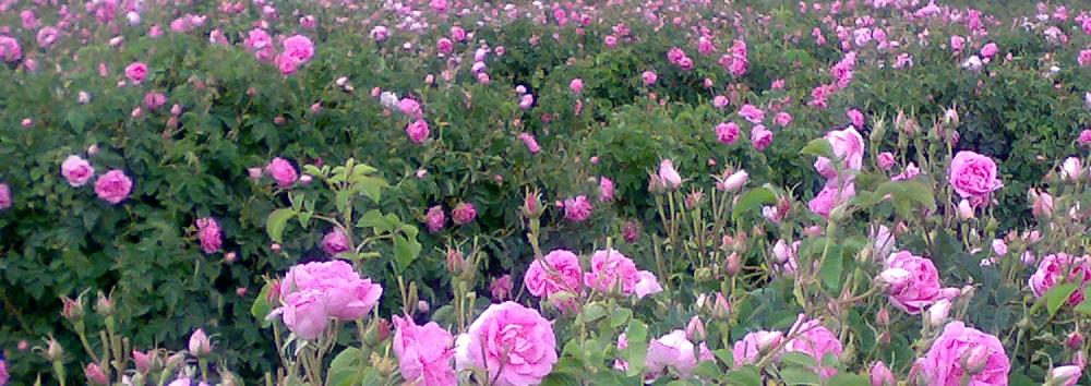 گل محمدی